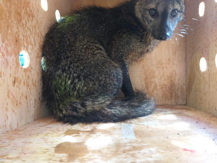 Cachorro do Mato foi resgatado. Foto: Divulgação/PSA